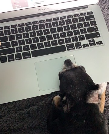 Jellybean the dog hard at work on the computer