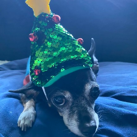 Jellybean wearing a Christmas tree hat