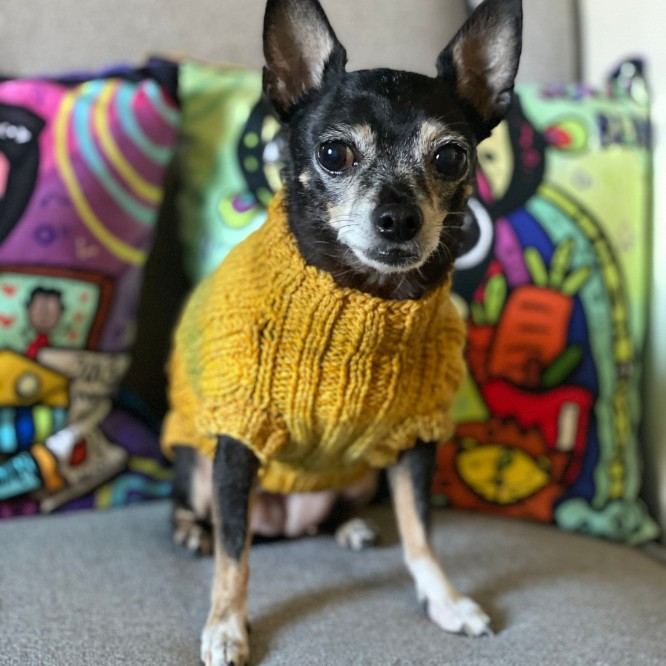 Jellybean in a yellow lucky dog sweater